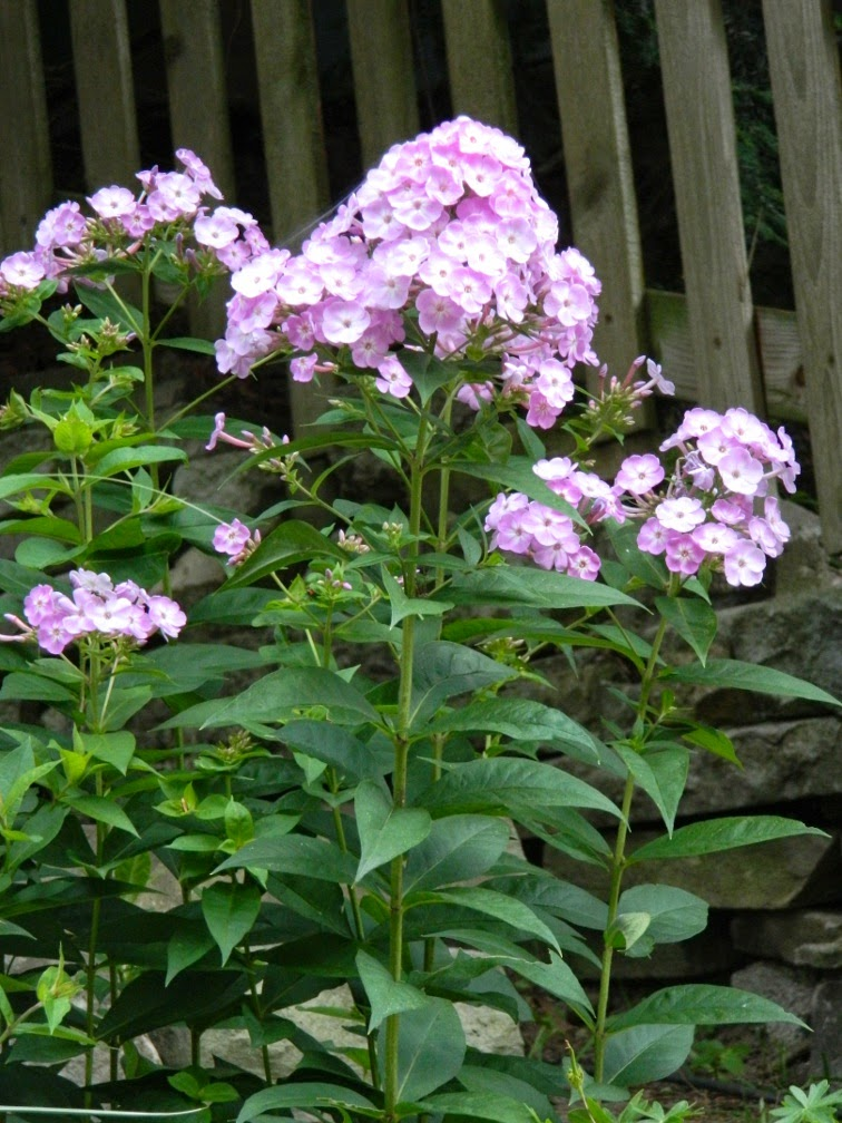 Phlox paniculata Franz Schubert by garden muses-not another Toronto gardening blog