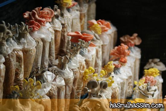 Petik Mushroom Segar S Corner Cameron Highlands