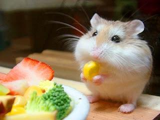 Cara Memelihara Hamster