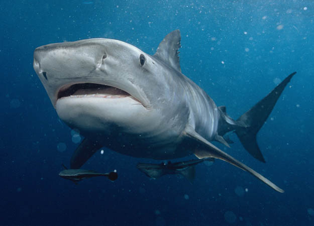 tiger shark glutton