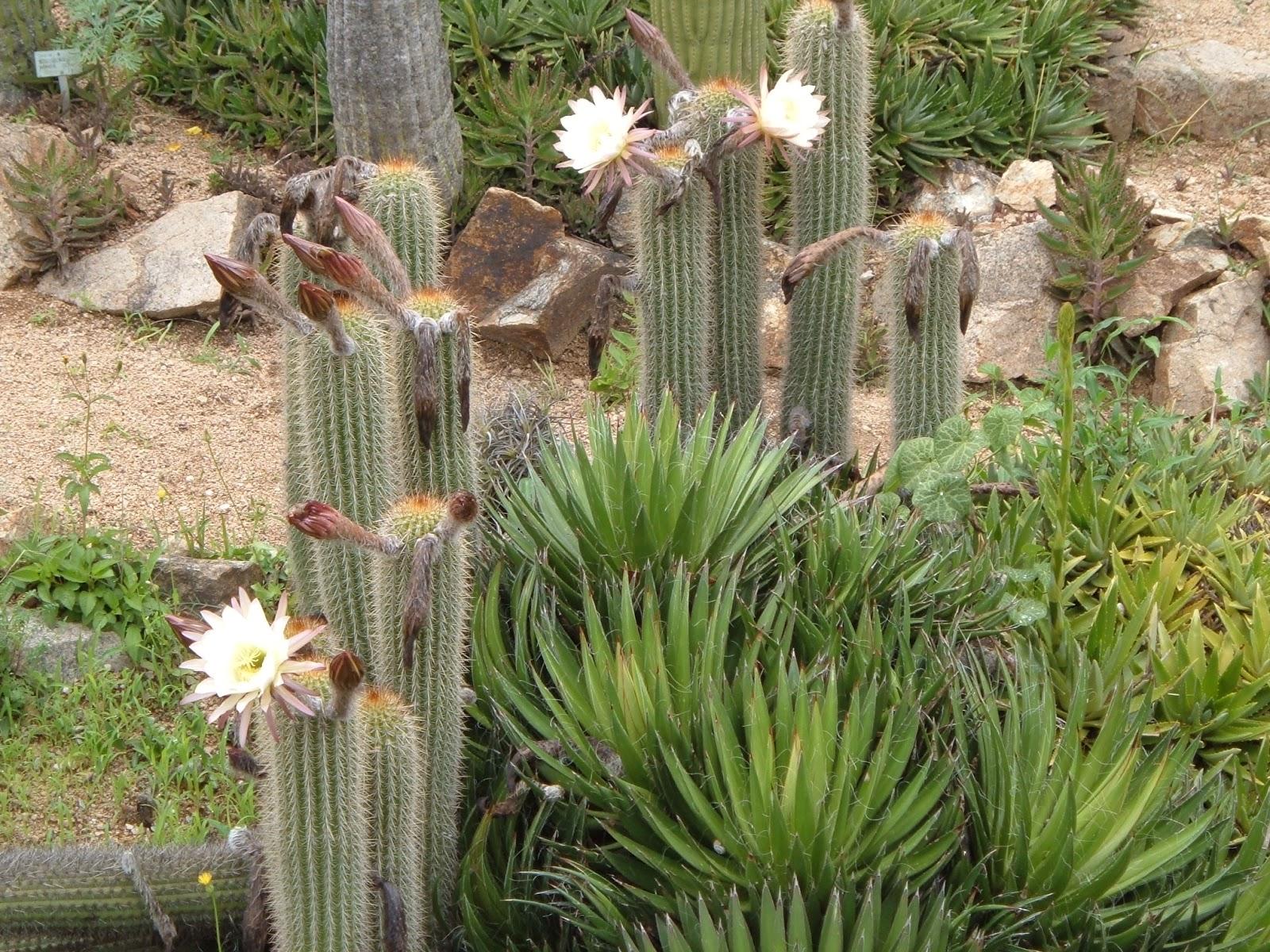 Fotos de flores: CACTUS CON FLORES