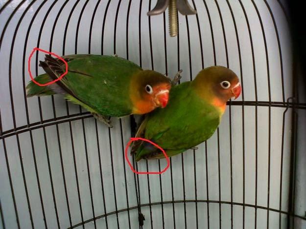 Foto Burung Lovebird Hijau Jantan