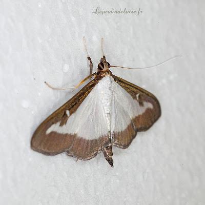 Merveilles de la nature - les papillons - Pyrale