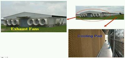Fungsi sistem ventilasi tunel dalam kandang ayam broiler