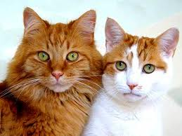 Gambar kucing pasutri