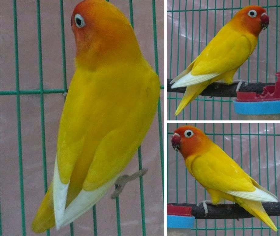 jenis   jenis lovebird di indonesia