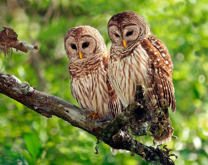 Uber Portland Oregon >> endangered owls