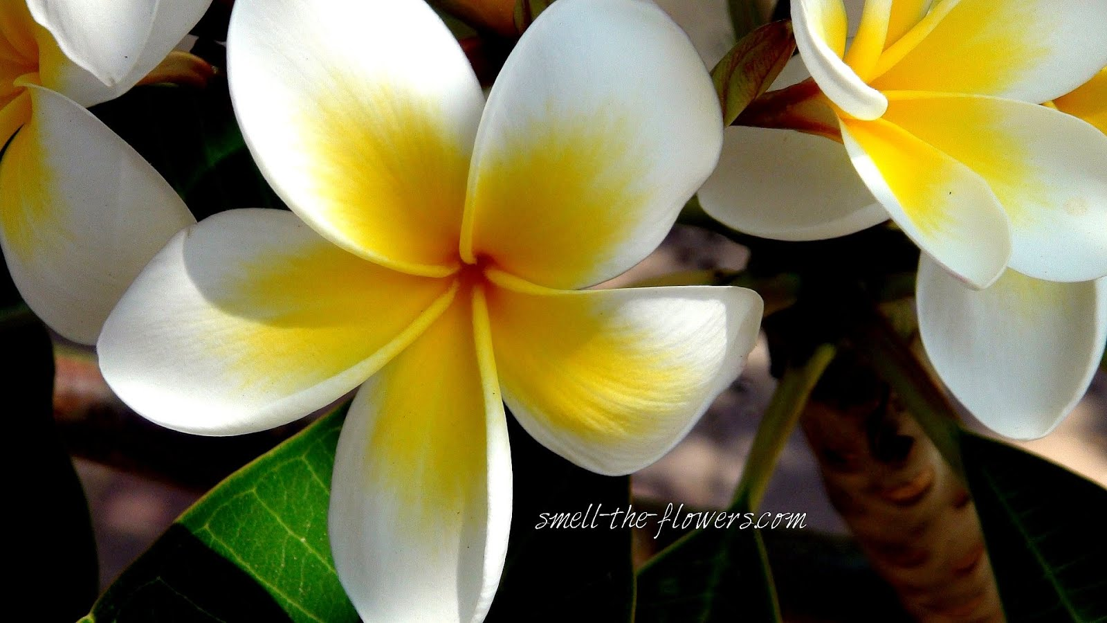 Yellow hawaiian flower flower choices photo src smelltheflowersblogwordpress izmirmasajfo
