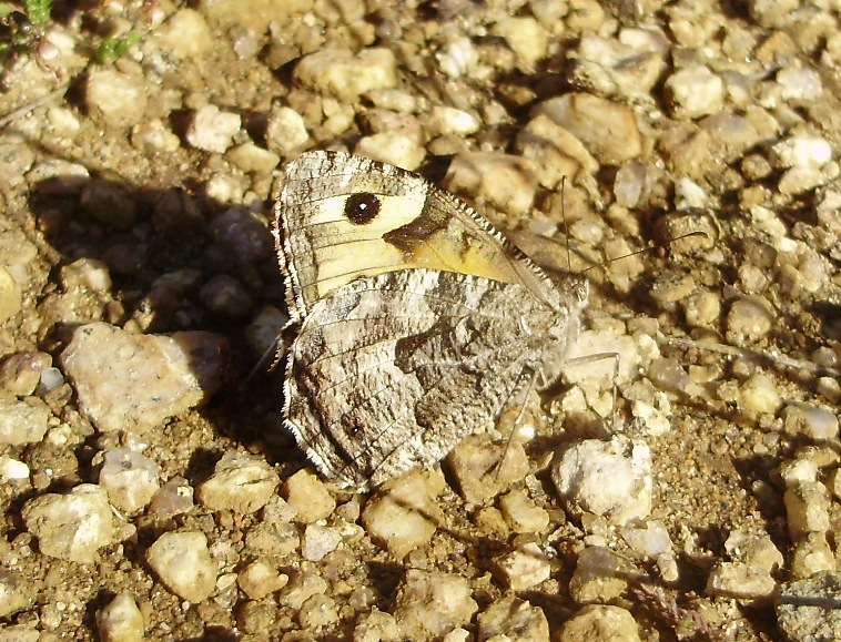 Mariposa Hipparchia semele