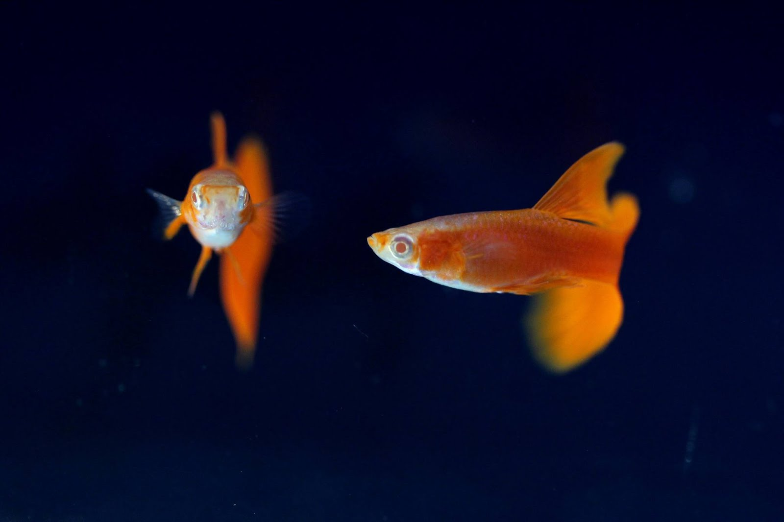 guppy fish Guppy: guppy, (poecilia reticulata or lebistes reticulatus), colourful, live-bearing freshwater fish of the family poeciliidae, popular as a pet in home aquariums.