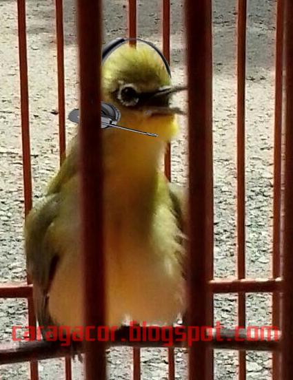 Cara Pemasteran burung Pleci Dengan Perangkat Audio mp3