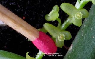 Stelis papaquerensis 1 do blogdabeteorquideas