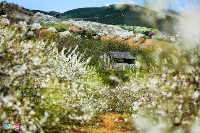 Hoa mận phủ trắng đồi Mộc Châu