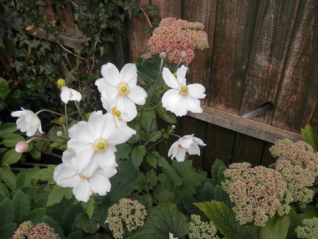 Autumn flowers.  Garden, September 2015.  secondhandsusie.blogpsot.co.uk #autumngarden #ukgarden #growyourown #ukblogger