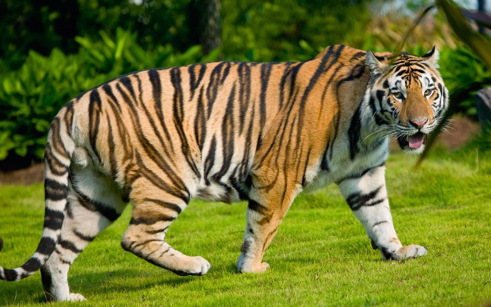 Animal wide screen tiger wallpaper