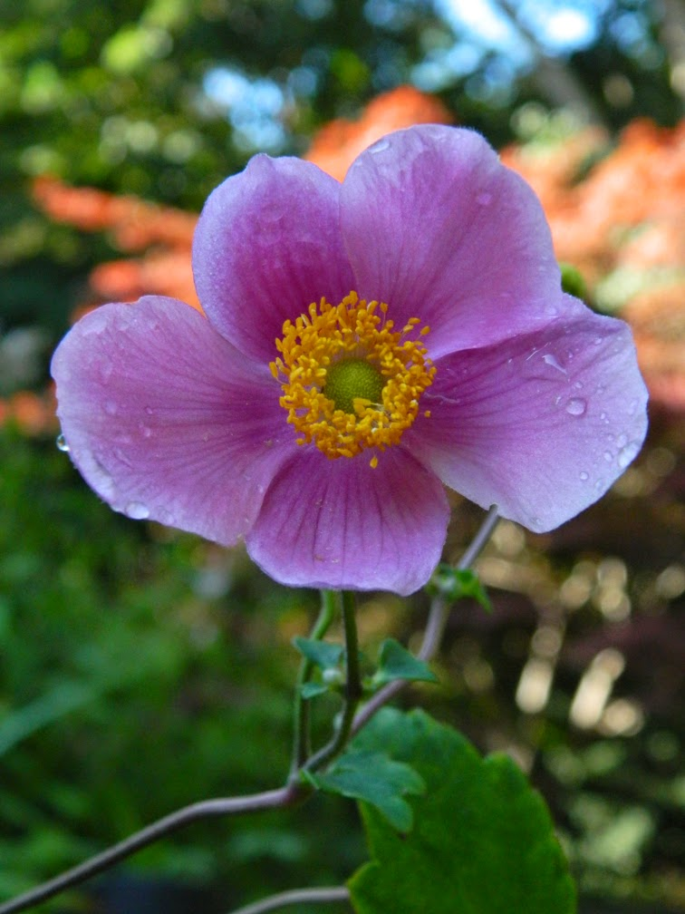 Anemone tomentosa 'Robustissima' Grape-leaf anemone by garden muses-not another Toronto gardening blog