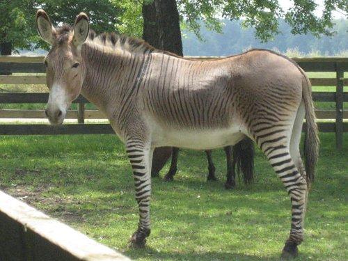 Cebrasno:  cruce burro-cebra