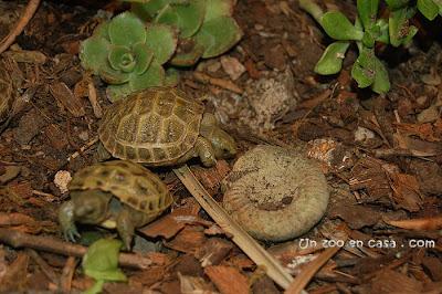 Tortugas rusas en la zona caliente del terrario
