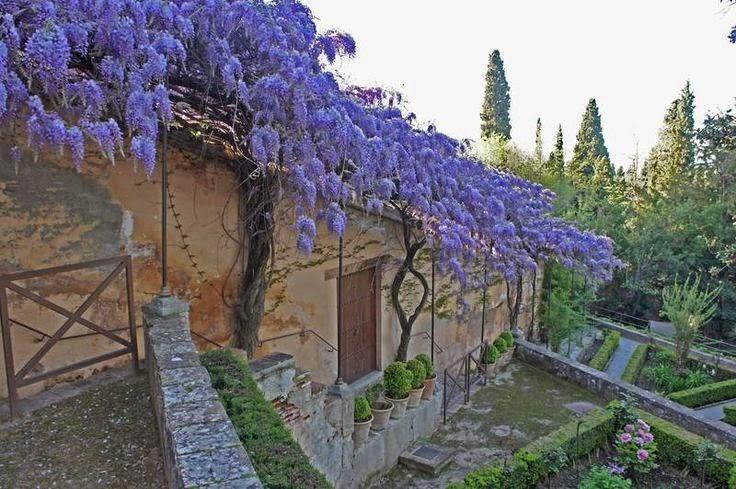glicinia wisteria sinensis planta del mes en la alhambra