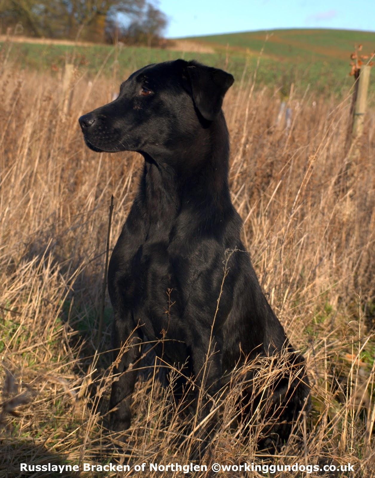how to train a labrador retriever for field trials