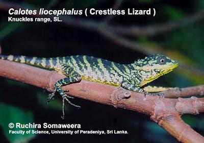 endangered lizards