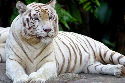 foto macan putih