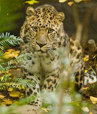 Leopardo al acecho - Leopard Stare by Reixed
