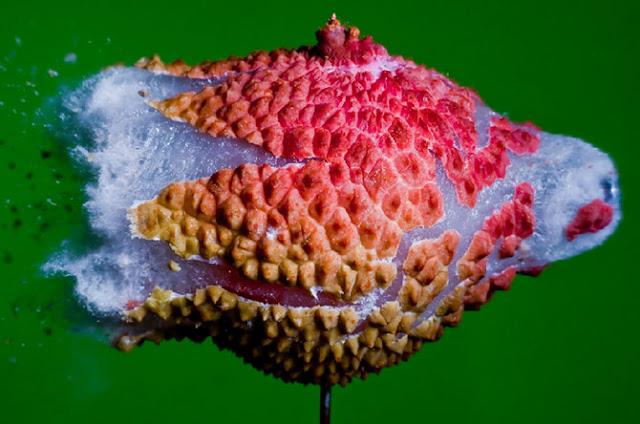 Detonation of lychee fruit