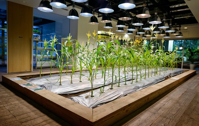 cultivando maiz