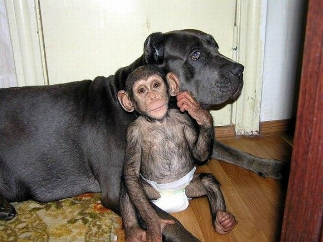 baby chimpanzee adopted by dog, cute baby chimp, dog adopted baby monkey