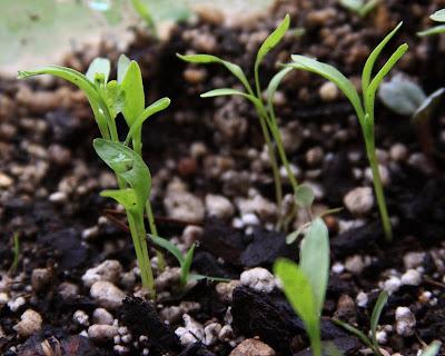 Brotes de Cilantro - Primer par de hojas - Quiero Cultivar Cilantro en Macetas ¿Por donde Empezar?