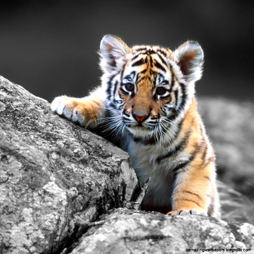 Baby Tiger Cubs Wallpaper   Top Images