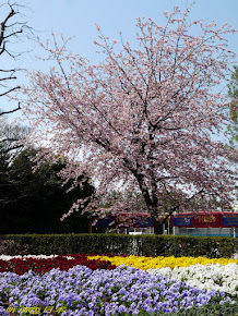 日本樱花之旅 2012