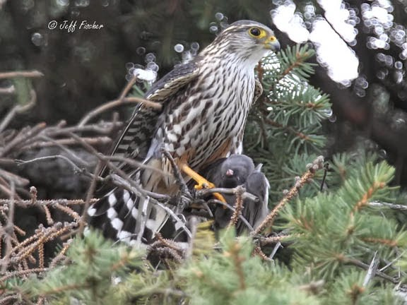 Male Merlin Falcon with a Junco