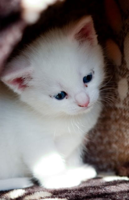 How much does a Turkish Angora Kitten Cost?