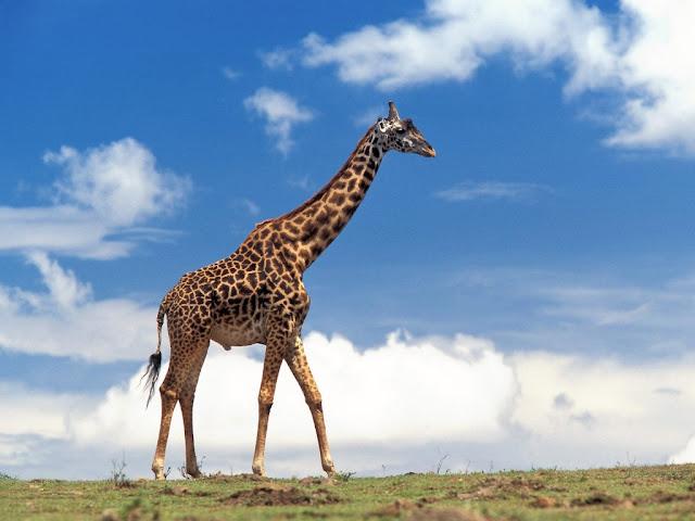 Giraffe Animal Wallpaper HD Desktop Backgrounds 1024x768