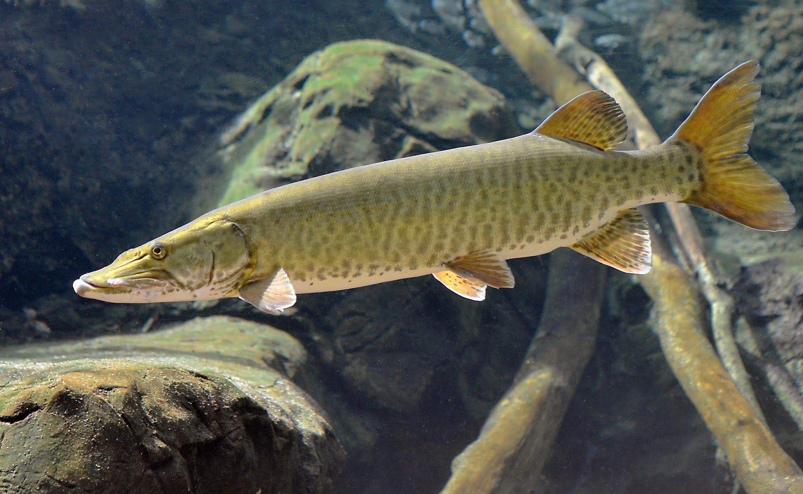 Virginia fishes new muskellunge esox masquinongy for Muskie fish pictures