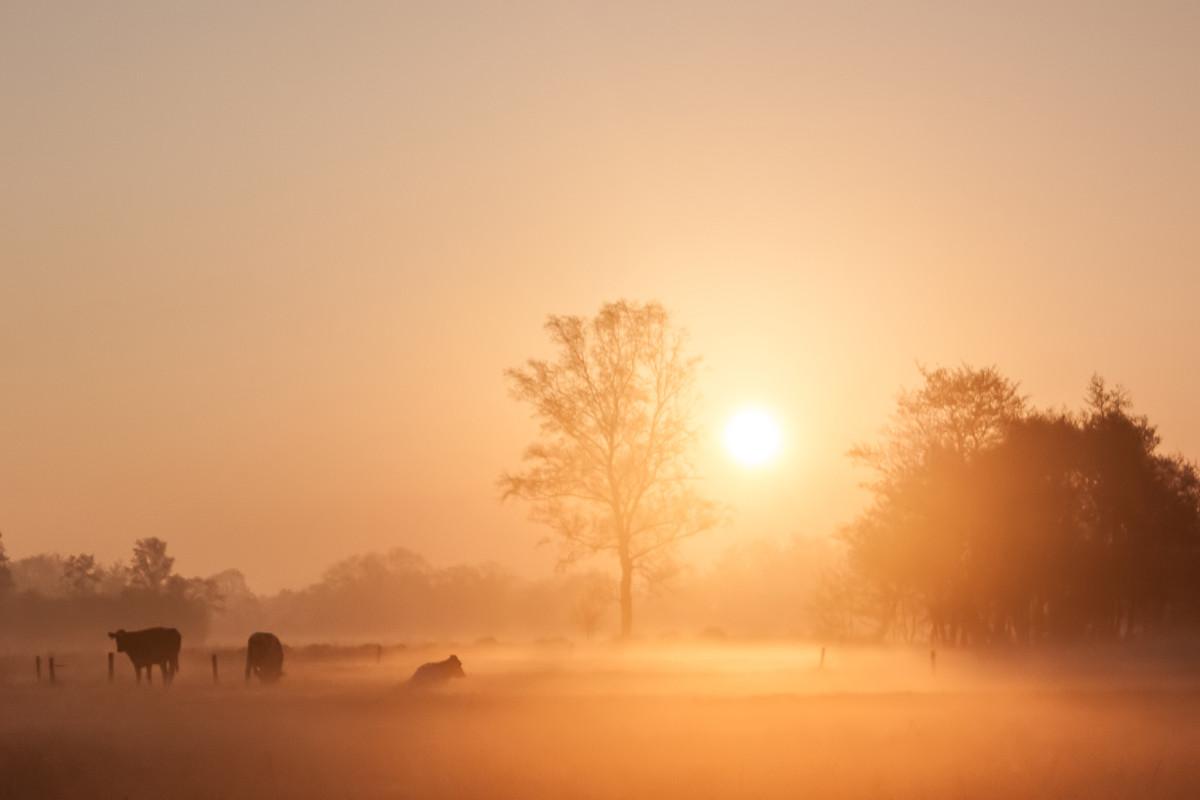 Koeien in de morgenzon