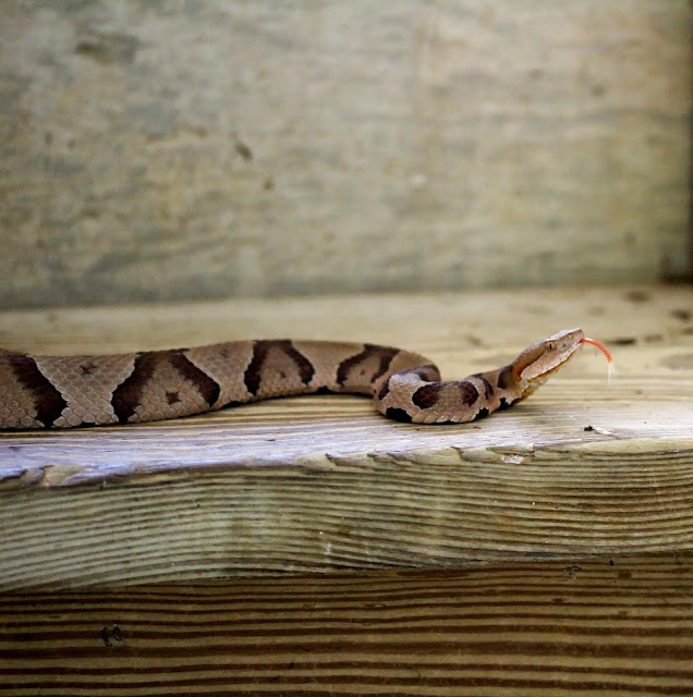 Copper Head Snake #snake #wildlife #photography