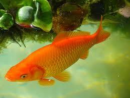 Taksonomi Ikan Mas