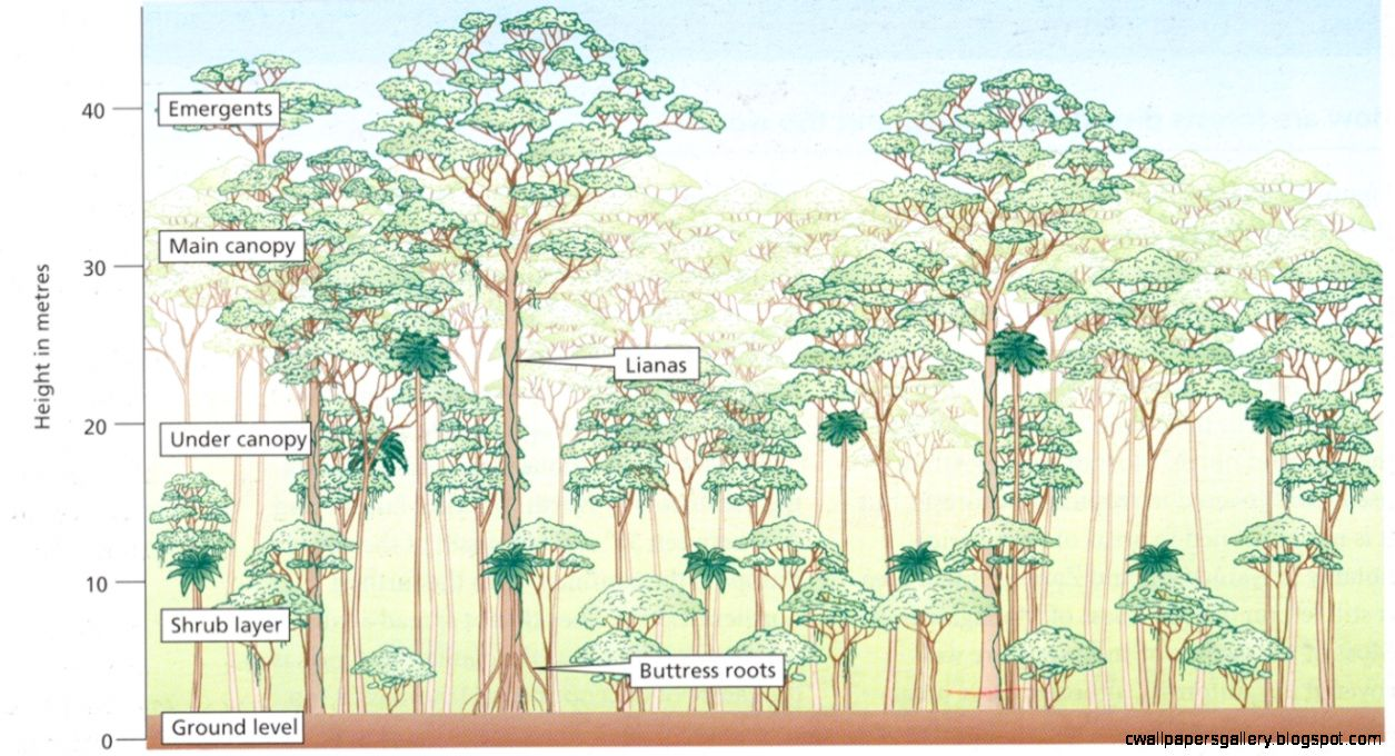 Emergent Layer Brazil Nut Tree  REF Tropical Rainforest