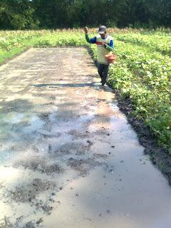 cara pemupukan pada tanaman padi