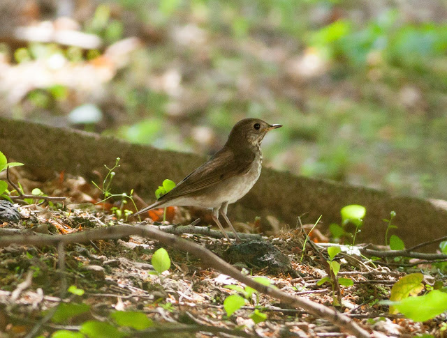 Grey-cheeked Thrush, Greenwood Cemetery - New York