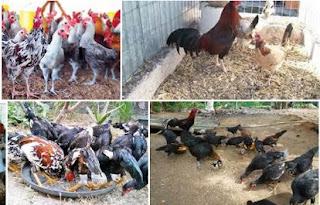 pengobatan ayam kampung