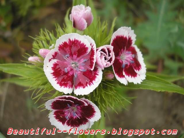 Karanfil, klinčić - Dianthus  • Recepti za svaku priliku