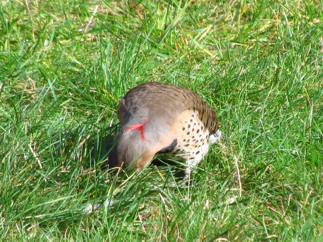 northern flicker pokes at lawn