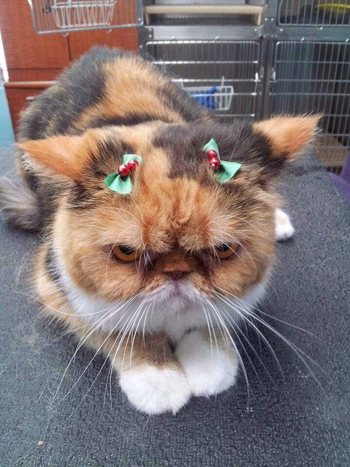 Funny cats - part 82 (40 pics + 10 gifs), cat photo, cat hates wearing christmas ribbon