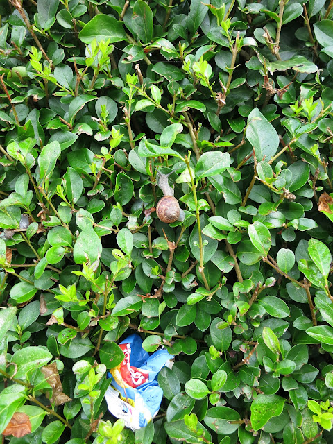 Snail and rubbish in privet hedge
