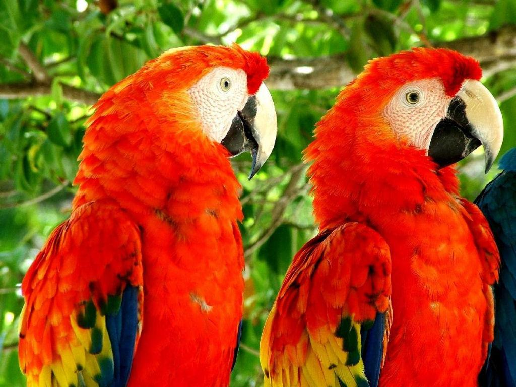Macaw parrot red - photo#16