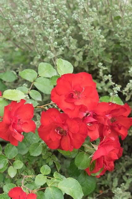 rosa sivigliana